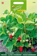 Strawberries Baron van Solemacher