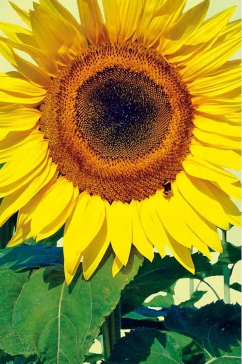Premium bag Sunflowers