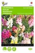 Semi-tall mixed Antirrhinum Snapdragon seeds