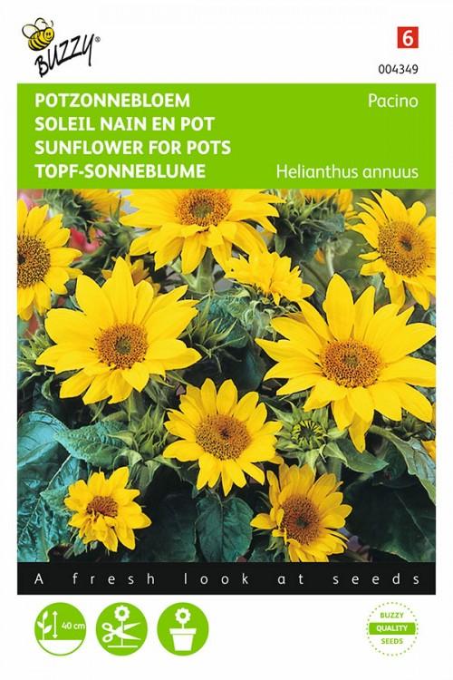 Pacino Dwarf Sunflower Helianthus seeds