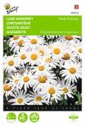 Silver Princess Shasta Daisy Leucanthemum seeds