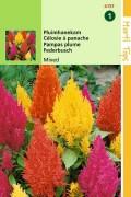 Pampas Plume Woolflower Celosia seeds