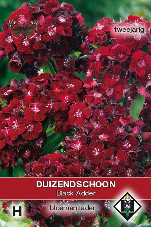 Black Adder - Dianthus