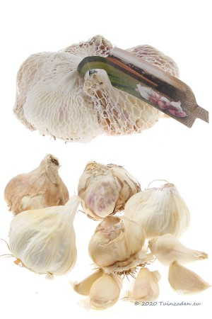 Winter Garlic Messidrome -...