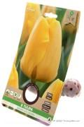 Tulpen Golden Apeldoorn - Gele Tulpenbollen