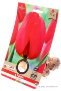 Tulpen Oxford - Rode Tulpenbollen