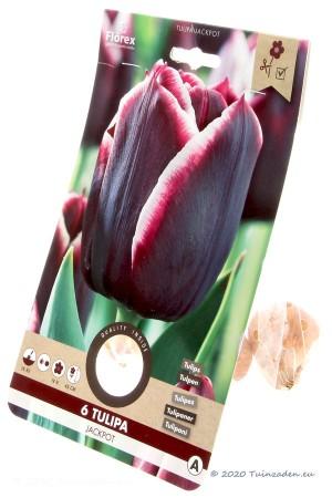 Tulpen Jackpot - Paars-witte Tulpen bollen