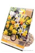 Grootverpakking Botanische Narcis mix - Narcissenbollen