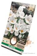 Krokus Ard Schenk - Witte Botanische Crocusbollen
