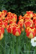 Tulpen Banja Luka - Rood-gele Tulpen bollen