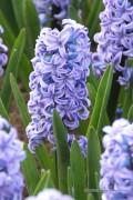 Hyacint Delft Blue - Blauwe Hyacinten bollen