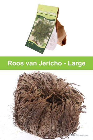 Rose of Jericho - Large
