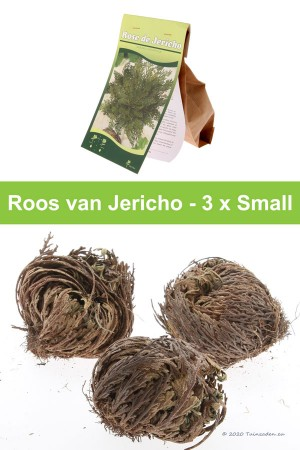 Rose of Jericho - 3 x small