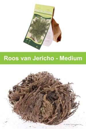 Rose of Jericho - Medium