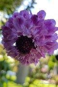 Double Flowered Scabiosa seeds