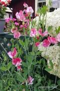 Americana Siererwt Lathyrus zaden