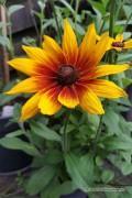 Gloriosa Daisy Zonnehoed