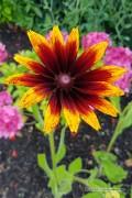 Gloriosa Daisy Zonnehoed Rudbeckia zaden