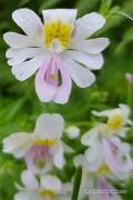 Angel Wings - Poor Man's Orchid seeds