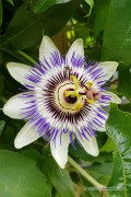 Passion Flower seeds