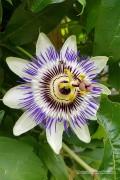 Passiflora zaden