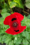 Lady Bird - Papaver