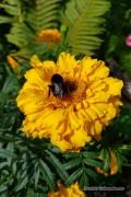 Golden Age African Marigold Tagetes seeds