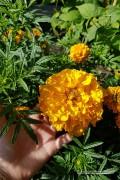 Golden Age Reuzen Afrikaan Tagetes zaden