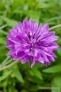 Mixed Centaurea