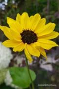 Stella Sunflower Helianthus seeds