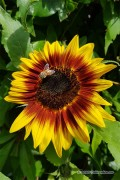 Ring of Fire Sunflower Helianthus seeds