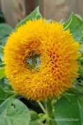 Sungold Zonnebloem Helianthus zaden