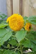 Sungold Sunflower Helianthus seeds