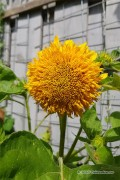 Sungold Sunflower Helianthus seeds