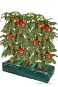 Grow Bag Tomatoes and Vegetables