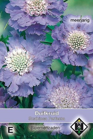 Blue Perfection - Scabiosa...
