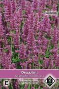 Arcado Pink Dropplant zaden
