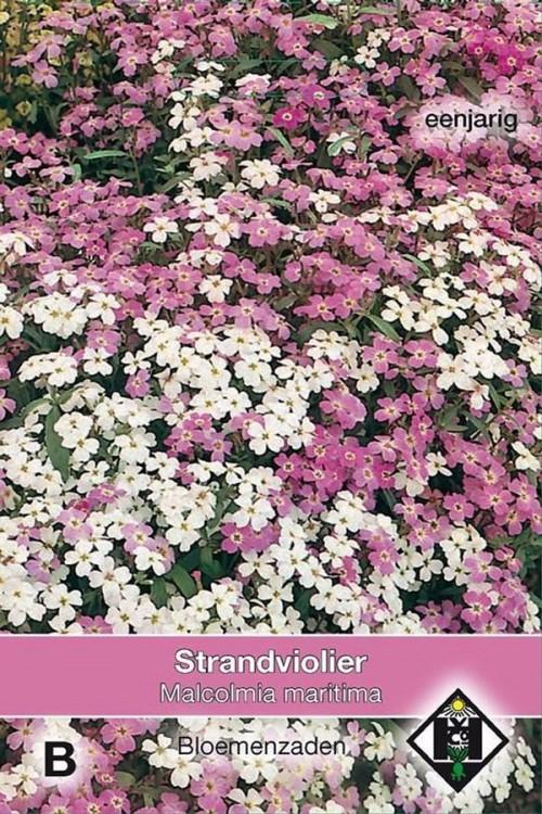 Virginia Stock - Malcolmia seeds