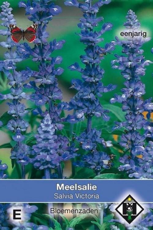Victoria mealy sage Salvia farinacea seeds