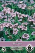 Verbena Polaris Rigida - Vervains seeds