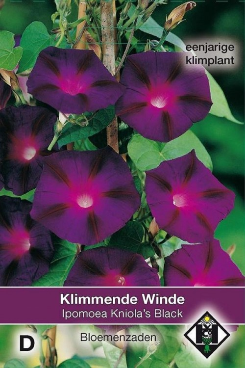 Kniola's Black Morning Glory Ipomoea seeds