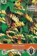 Exotic Love Quamoclit lobata Ipomoea seeds
