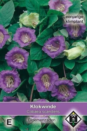 Violet Klokwinde Cobaea zaden