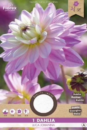 Dahlia Luca Johanna lilac...