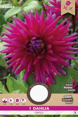 Dahlia Orfeo roze - Cactus