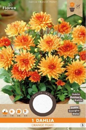 Dahlia Orange Pigmy - Cactus