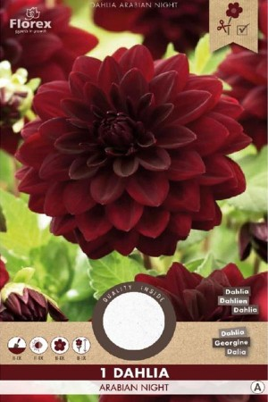 Dahlia Arabian Night dark...