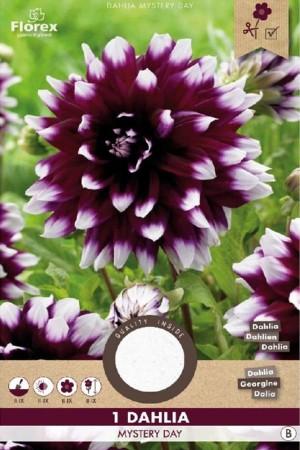 Dahlia Mystery Day purple...