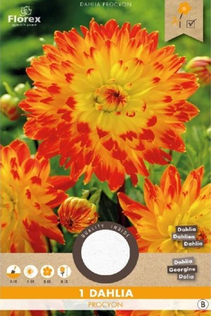 Dahlia Procyon geel-rood -...
