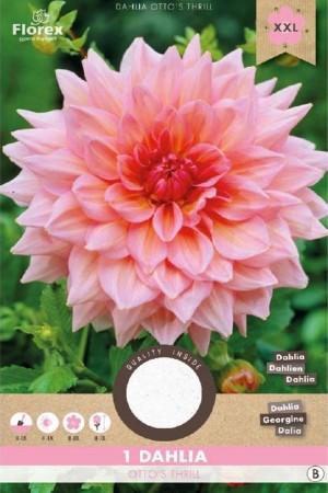 Dahlia Otto's Thrill pink -...